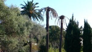 Plan de sauvegarde des palmiers