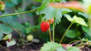 Les fruits et légumes de saison du mois de mai